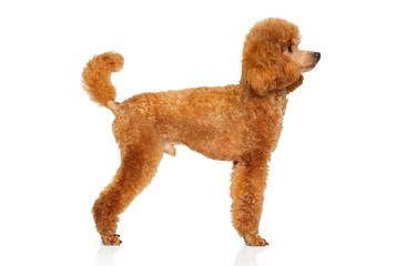 Wall Mural - Miniature Poodle on white background