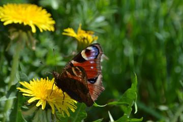 Papillon de jour ou papillon cocarde