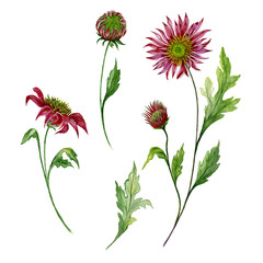 Beautiful floral set. Red chrysanthemum (flowers on stems with leaves and closed buds) isolated on white background. Watercolor painting.