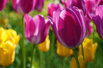 beautiful tulips on a summer day