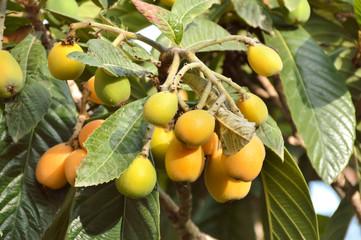 Loquat fruit on a tree