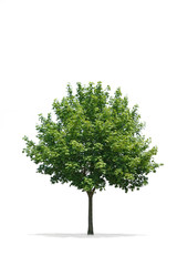Beautiful green Tree Isolated on a White Background in High definition