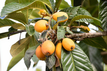 Loquat fruit on a tree