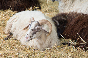 head and horns of a wild big horned sheep lying on straw