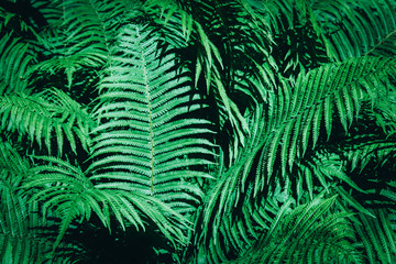Beautiful background made with young green fern leaves.