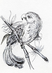 Ink illustration of a parrot. White background.