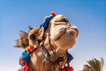 Head of the camel with open eyes, close-up, portrait, Egypt.It shows the language and grimaces, a joke.