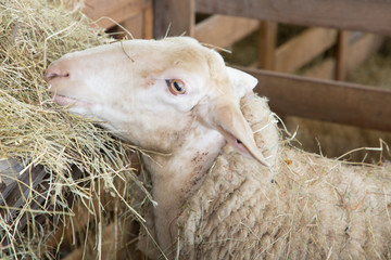 A head of sheep eat straw in a barn