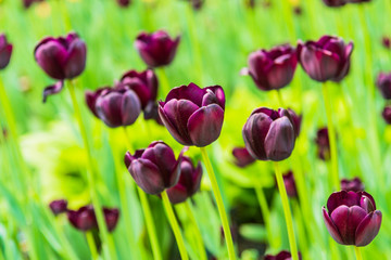 Beautiful burgundy tulips on the field, close-up - spring background, floral pattern