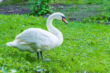White swan on the river bank - the concept of animal protection