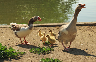 Geese and chicks in the park