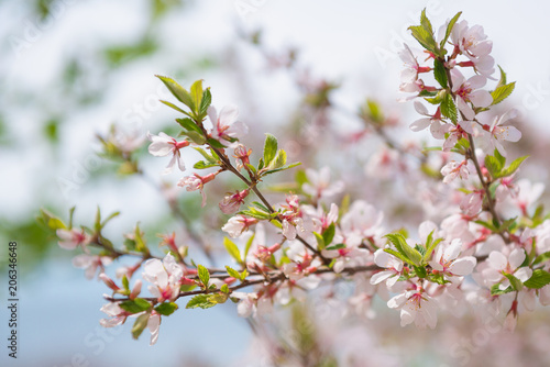 Blooming tree with pink and white flowers spring blossom theme blooming tree with pink and white flowers spring blossom theme mightylinksfo Images
