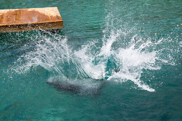 Seelöwe springt ins Meer