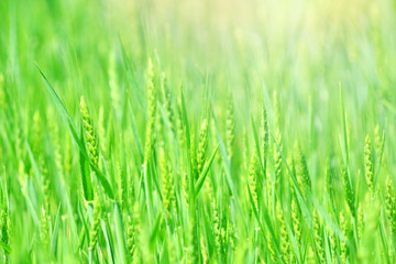 Green wheat field for agronomy economy