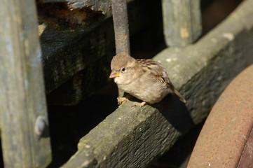 oiseaux moineaux