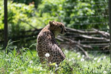 Leopard, Katze