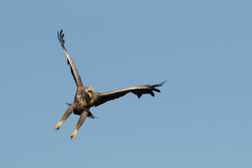 Eagle in Flight and Calling
