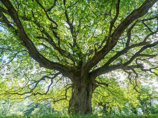 majestic old oak tree giving shade in the springtime