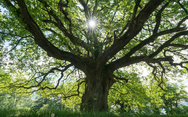 Wall Mural - majestic old oak tree giving shade in the springtime