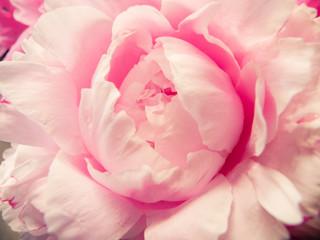 Pink Peony Macro close up