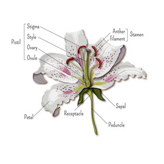 Parts of the flower infographics. Lily flower anatomy. Science for kids.
