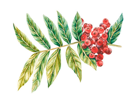 Lentisk watercolor illustration. Branch of mastic tree with red berries and leaves. Pistacia lentiscus isolated on white background.