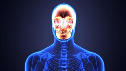 3d illustration of Human Skull Anatomy Diagram   Periodic