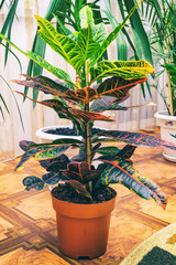 Home plant Croton in a pot