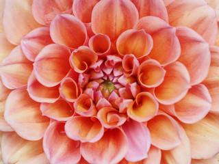 Close-up of Dahlia Pinnata blooming