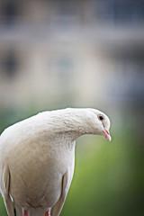 White pigeon bending head
