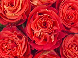 bright background of red roses