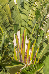 banana-like leaves of a large Strelitzia nicolai, white bird of paradise plant