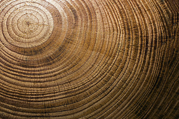 texture of a cross-section of a pine tree close-up, cross-section of annual rings
