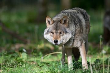 Photo sur Plexiglas Loup Loup gris dans la forêt