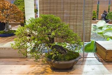 Bonsai tree  - southern Japanese hemlock.