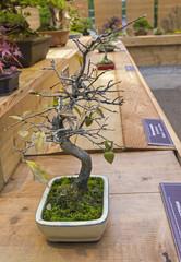 Bonsai tree  - persimmon.