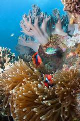 Obraz Photo of coral colony. - fototapety do salonu