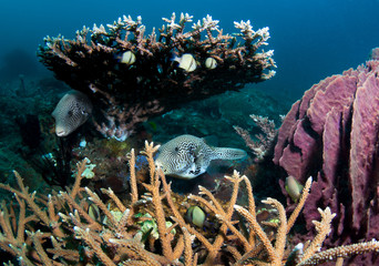 Puffer fish by coral reef.