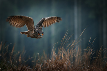 Eagle owl flying in the night forest. Big night bird of prey with big orange eyes hunting in the dark forest. Action scene from the forest with owl. Bird in fly with wide open wing. Fototapete
