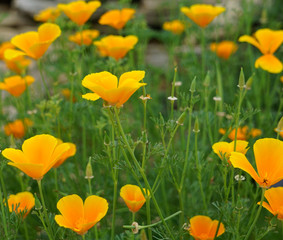 Close up of the flower blooms of  the Eschscholtzia Californica commonly known as the California or Golden Poppy