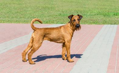 Irish Terrier looks in camera.  The Irish Terrier stands in city park.