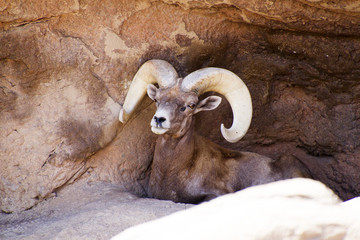 Big horn sheep cooling off in a cave