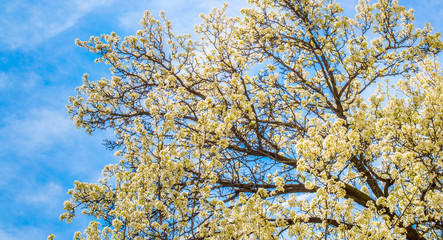 delicate yellow flowers on a cherry blossom tree under blue skies in springtime
