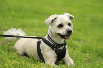 Shih Tzu puppy with black harness sitting on a green grass, cute small dog hairy messy in park