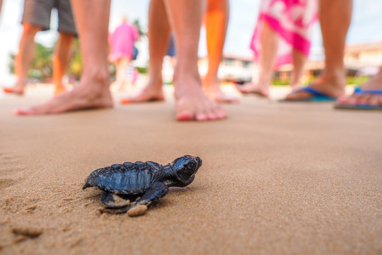 Toward the ocean. Newly hatched baby turtles on beach with humans