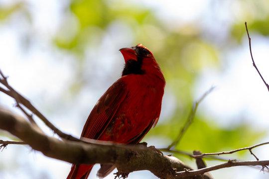 Cardinal At St Louis Zoo