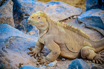 A Santa Fe land iguana, a species endemic to the Isla Sante Fe on the Galapagos Islands