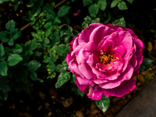 Pink rose flower in a garden
