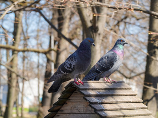 portrait of two pigeons