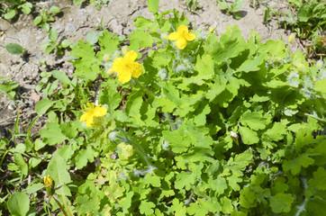 Flowers of celandine